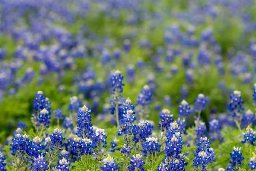 field of texas bluebonnet